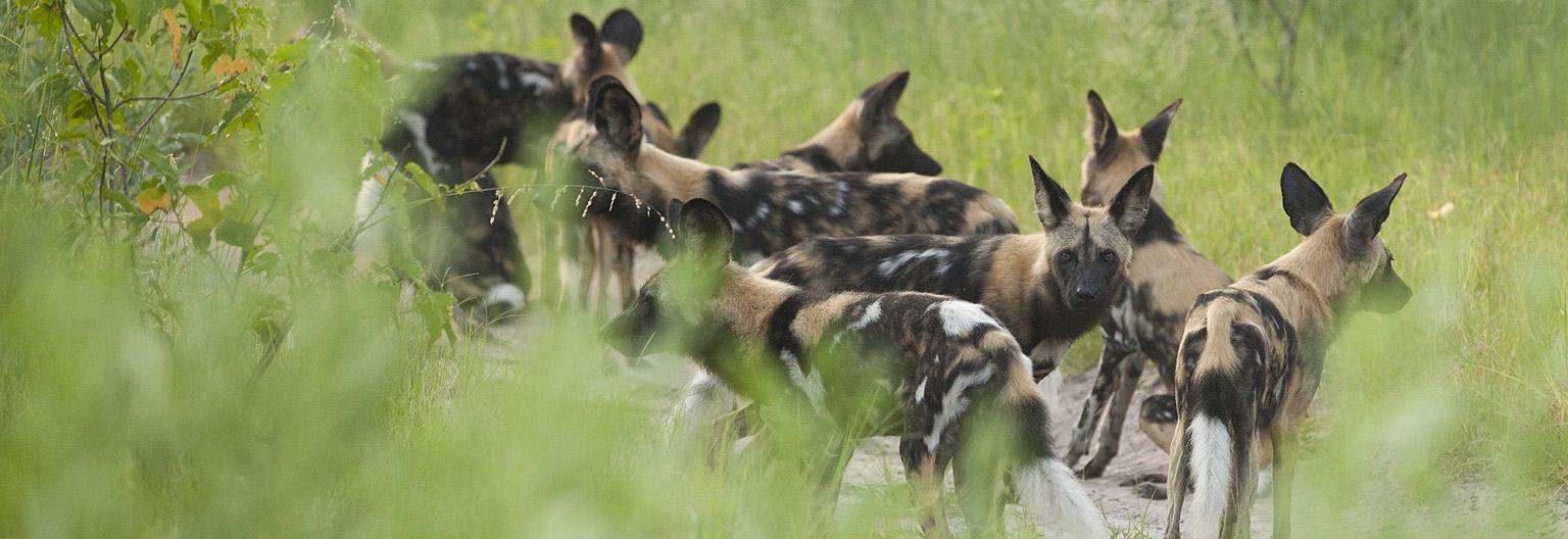 Les magnifiques chiens sauvages du Parc
