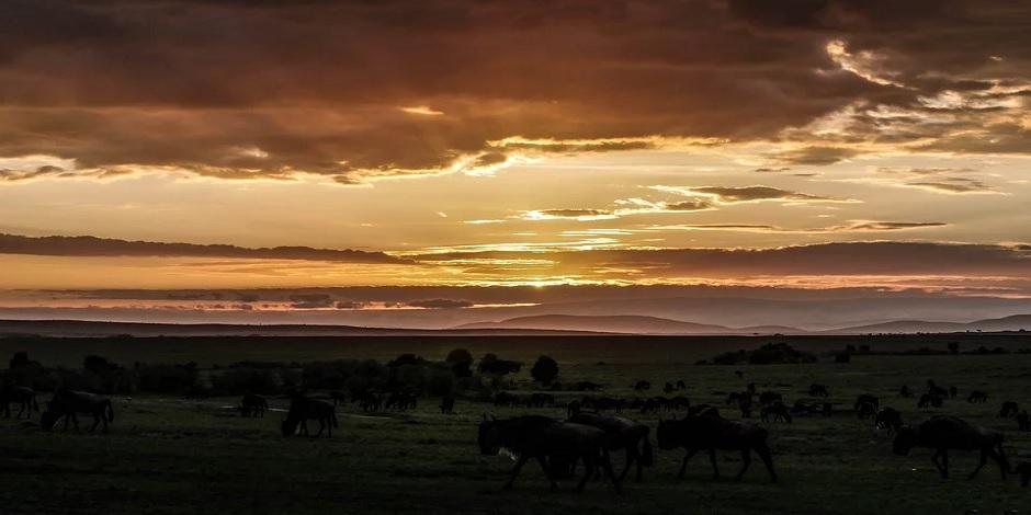 Troupeau de gnous à Masai Mara