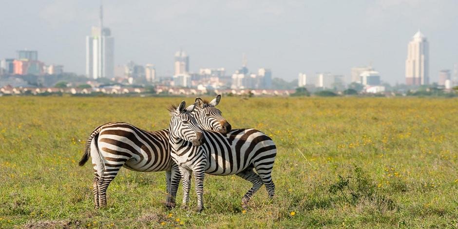 Zèbres en pâture à Nairobi